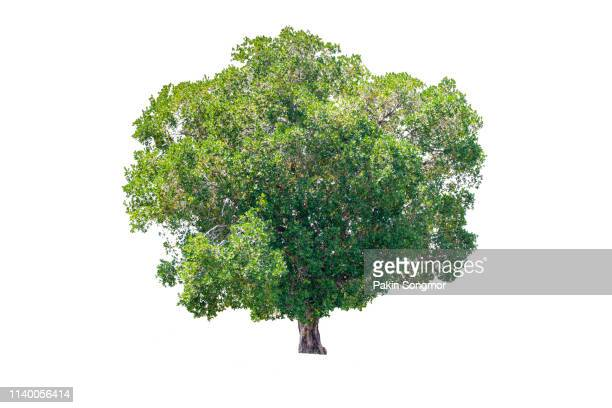 tree against isolate and white background - oak wood material stock photos and pictures