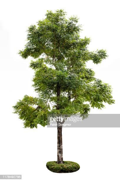 tree against isolate and white background - baum stock-fotos und bilder