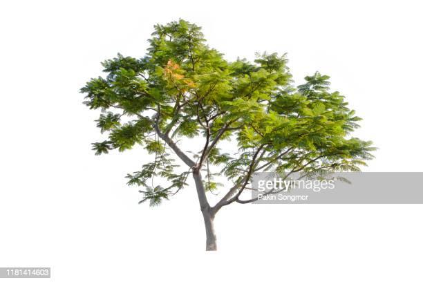 tree against isolate and white background - strauch stock-fotos und bilder