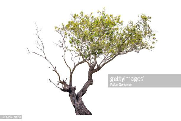 tree against isolate and white background - branch stock pictures, royalty-free photos & images