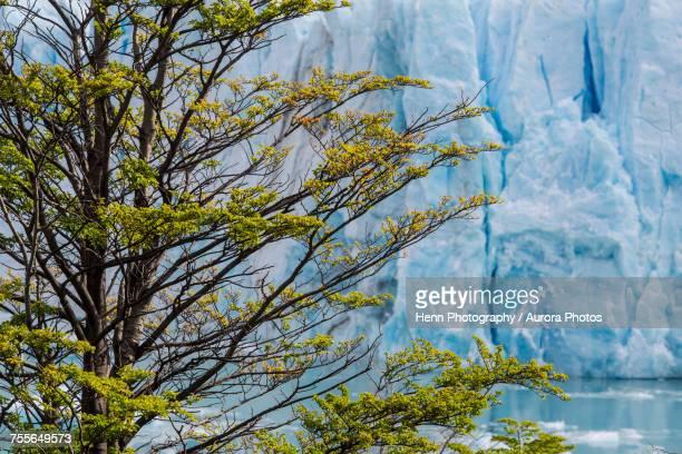 Tree against Perito Moreno glacier, Santa Cruz Province, Argentina