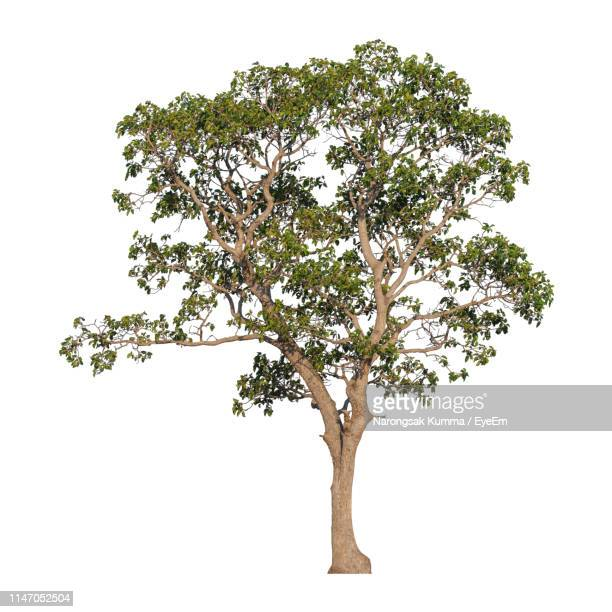 tree against white background - tree stock pictures, royalty-free photos & images