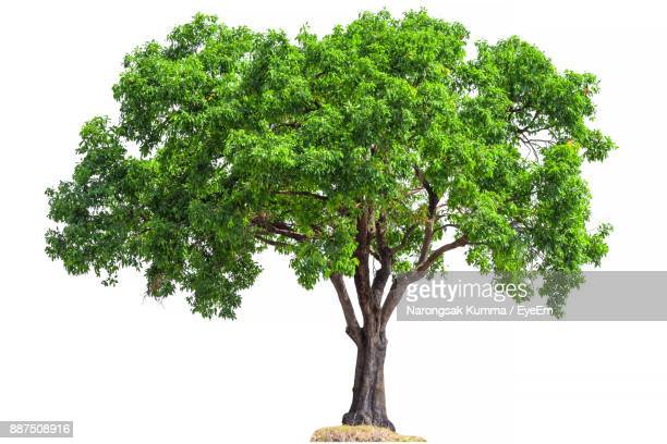 tree against white background - freisteller neutraler hintergrund stock-fotos und bilder
