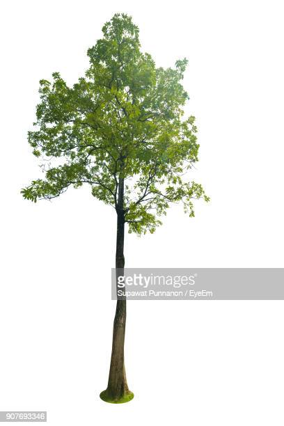 tree against white background - single tree stock pictures, royalty-free photos & images
