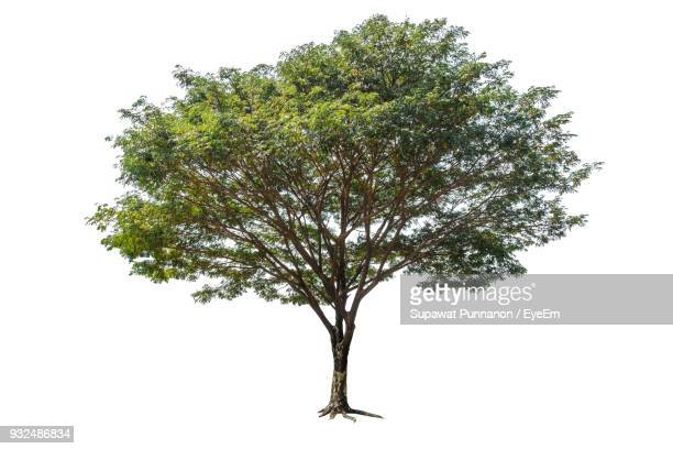 Tree Against White Background