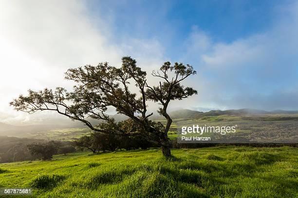 Tree along the road to Piton de la Fournaise