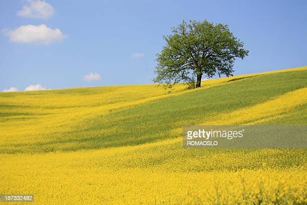 Tree and a yellow meadow in Val d'Orcia, Tuscany Italy