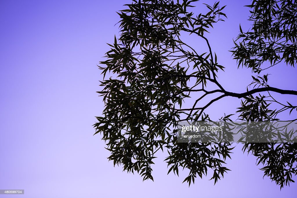 tree and branches silhouette : Stock Photo