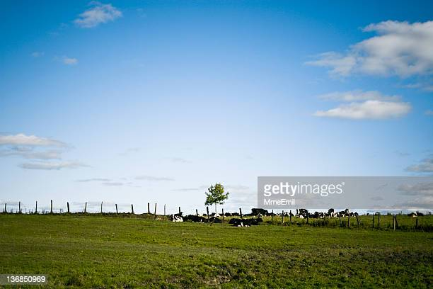 ツリーと牛 - シャウィニガン ストックフォトと画像
