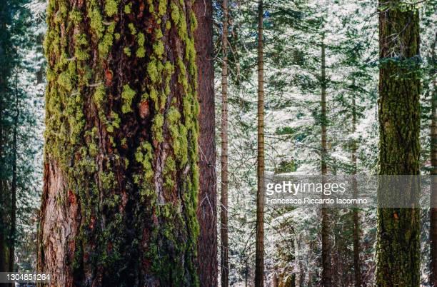 tree and forest at sequoia national park, california, usa - francesco riccardo iacomino united states foto e immagini stock