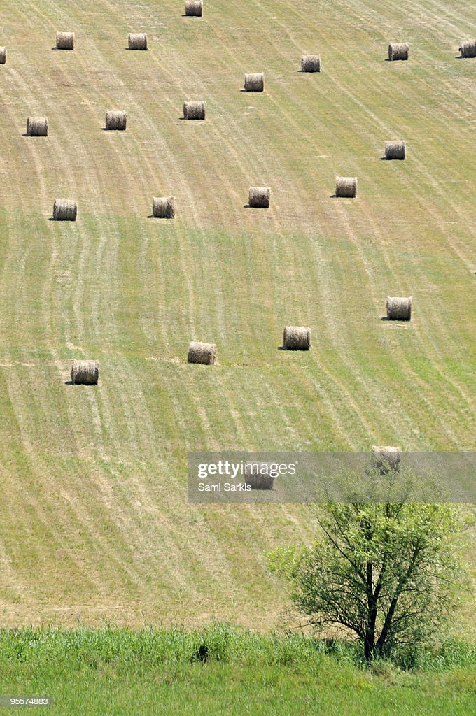 Tree and haystacks bale aligned in field : Stock Photo