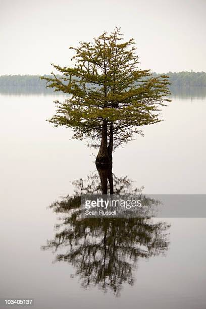 a tree and its reflection in a lake - sumpf stock-fotos und bilder