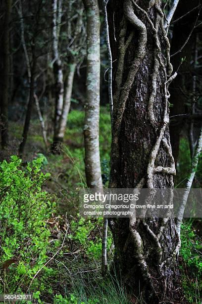 tree and ivy on trunk - gregoria gregoriou crowe fine art and creative photography. stock-fotos und bilder