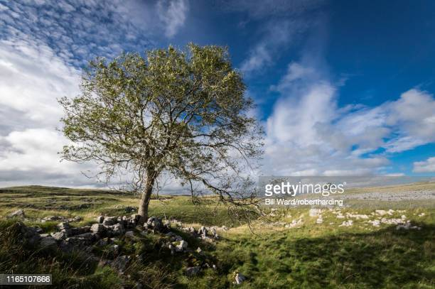 tree and limestone pavement above malham, yorkshire dales, yorkshire, england, united kingdom, europe - limestone pavement stock pictures, royalty-free photos & images