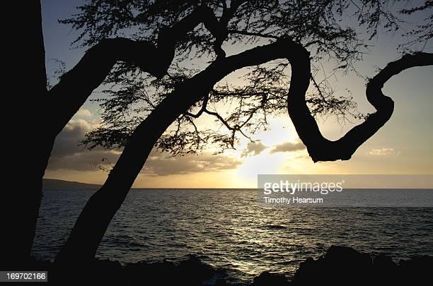 tree and ocean at sunset - timothy hearsum fotografías e imágenes de stock