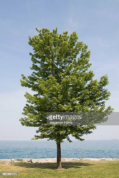 tree and ocean view - jessamyn harris stock pictures, royalty-free photos & images