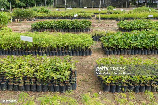 tree and plant seedlings for reforestation project in atlantic rainforest, guapiacu ecological reserve, rio de janeiro state, brazil - tree farm stock pictures, royalty-free photos & images