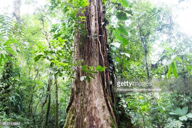 tree and rainforest, costa rica - iacomino costa rica foto e immagini stock