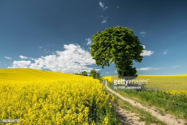 tree and rapeseed - pomorskie province stock photos and pictures