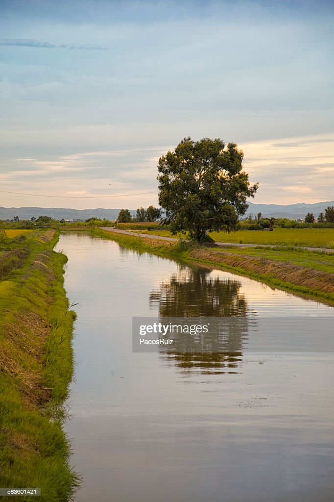 Tree and rice fields : Stock Photo