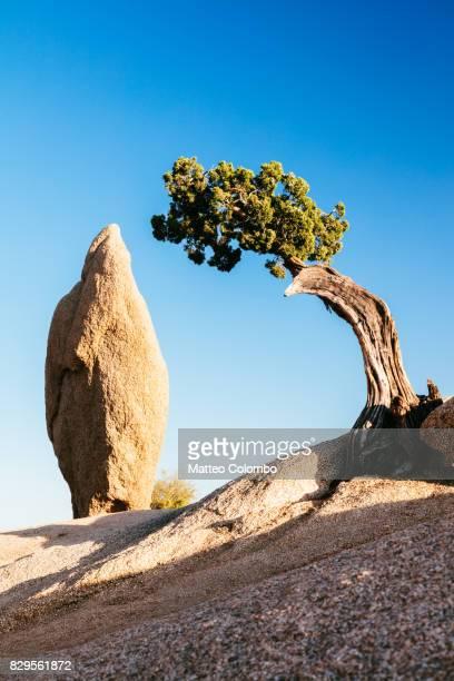 Tree and rock, Joshua tree NP, California, USA