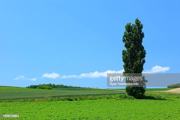 Tree and sky with clouds, Hokkaido