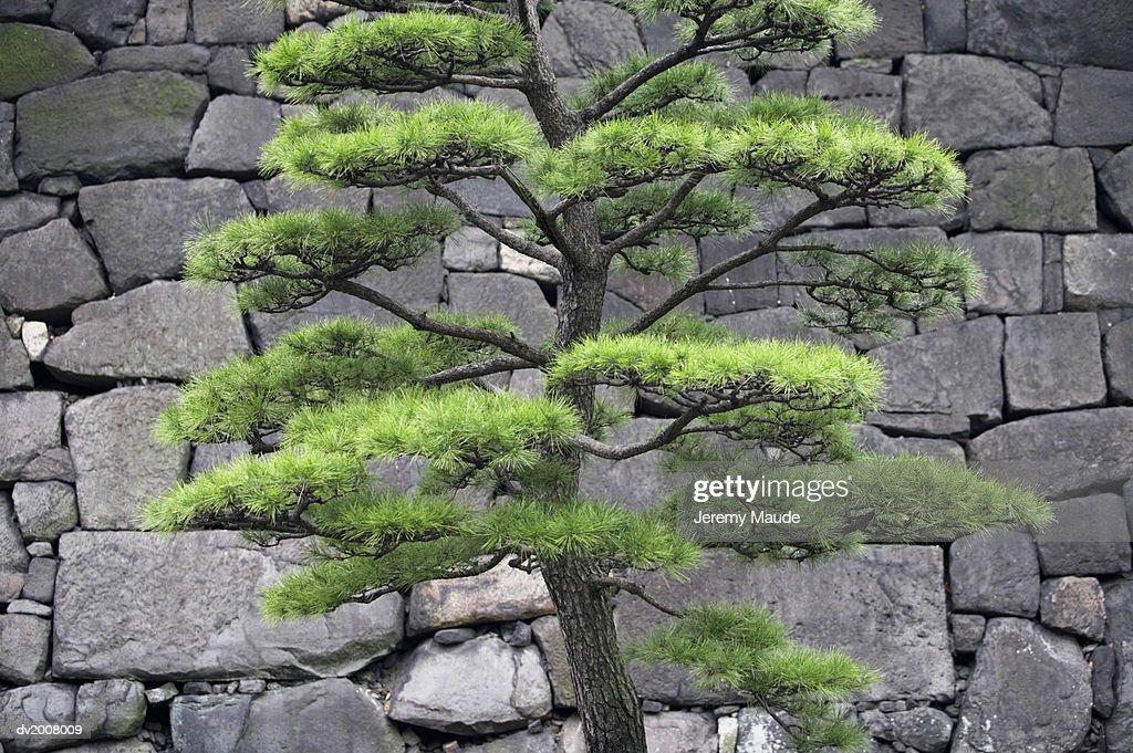 Tree and Stone Wall, Tokyo, Japan : Stock Photo