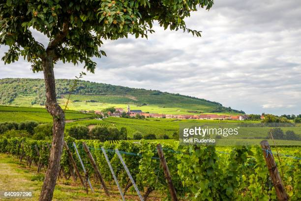 A tree and vineyards in Alsace, France
