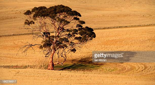 Tree and wheat belt