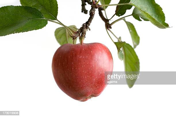 tree apple -isolated - appelboom stockfoto's en -beelden