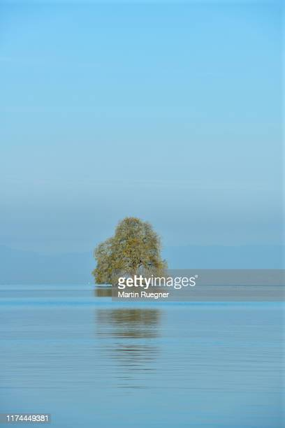 tree (platanus tree) at a small island in lake geneva near villeneuve, switzerland. lake geneva, villeneuve, montreux, canton of vaud, switzerland. - montreux stock pictures, royalty-free photos & images