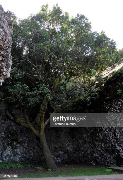 A tree at Arbol Santa Garoe on El Hierro Island January 13 2010 in El Hierro Island Spain The island inspired and features in the new film 'Hierro'...