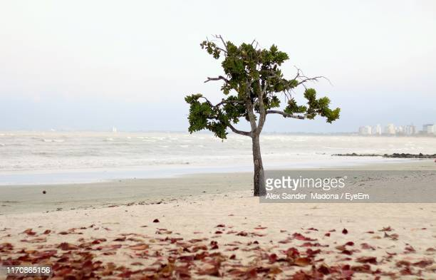 tree at beach against clear sky - madona stock photos and pictures