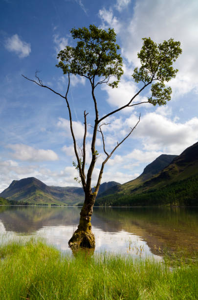 Tree At Buttermere
