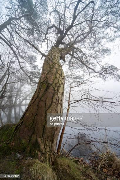 Baum am zugefrorenen See im nebligen Winterwald
