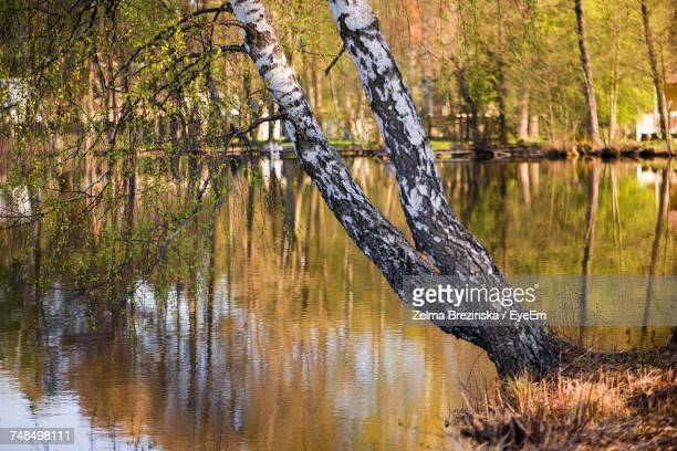 tree at lakeshore in forest - brezinska stock pictures, royalty-free photos & images