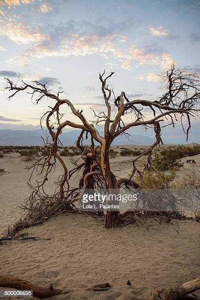Tree at Mesquite Dunes