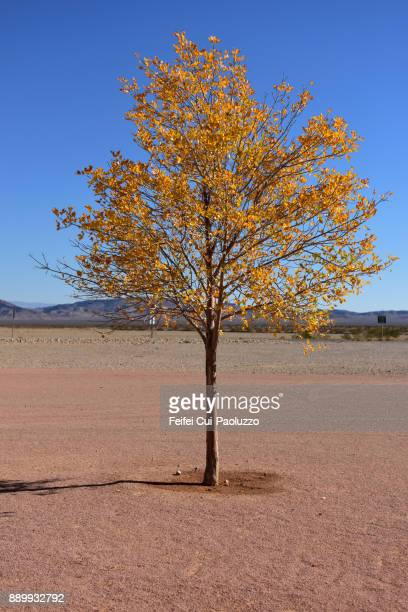 Tree at Mesquite, Nevada, USA