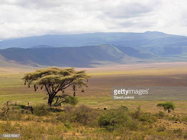 tree at ngorongoro - arusha national park stock photos and pictures