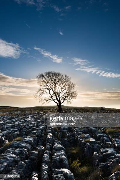 tree at sunrise - limestone pavement stockfoto's en -beelden