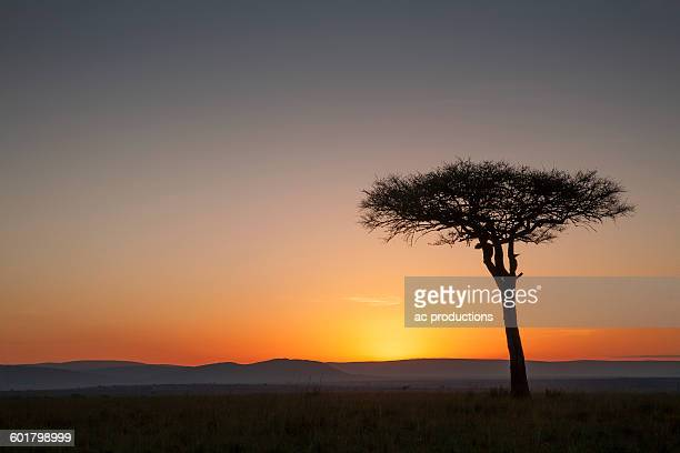 tree at sunset in savanna landscape - night safari stock pictures, royalty-free photos & images