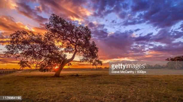 tree at sunset - grass area stock pictures, royalty-free photos & images