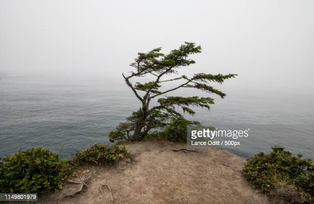 Tree At The End Of America Cape Flattery