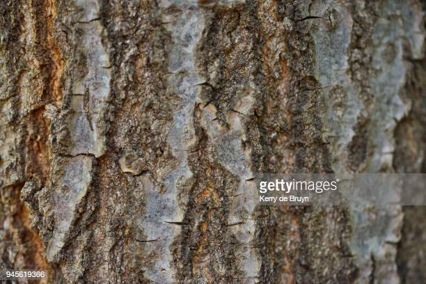tree bark in autumn - oak wood material stock photos and pictures