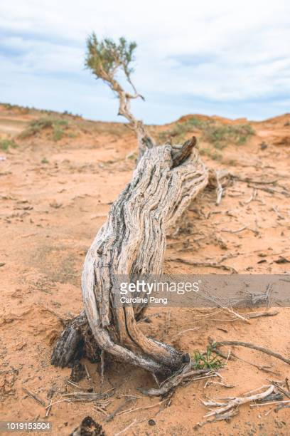 Tree bark of a Saxaul tree contain water. Saxual trees grow on desert sands in the Gobi.