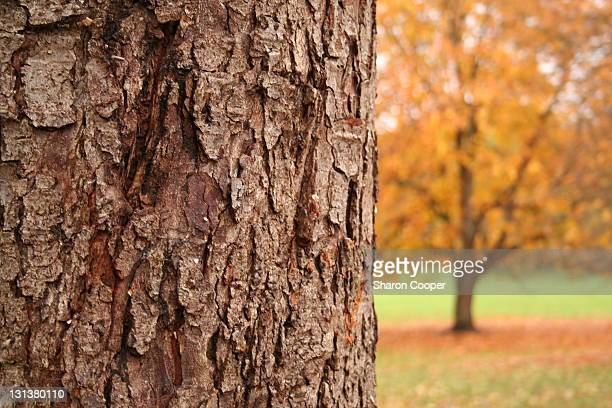tree bark with autumnal tree in background - letchworth garden city stock photos and pictures