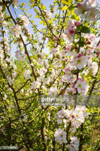 tree blossom in spring - april stock pictures, royalty-free photos & images