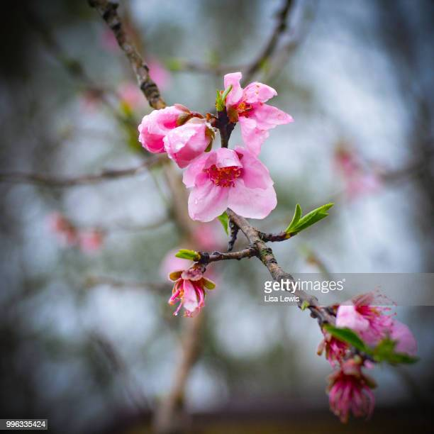 tree blossom - lisa lewis stock pictures, royalty-free photos & images