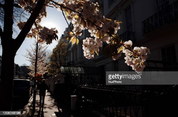 Tree blossoms in the Lancaster Gate neighbourhood of London, England, on March 25, 2020. London has been experiencing consecutive days of sunny, mild...
