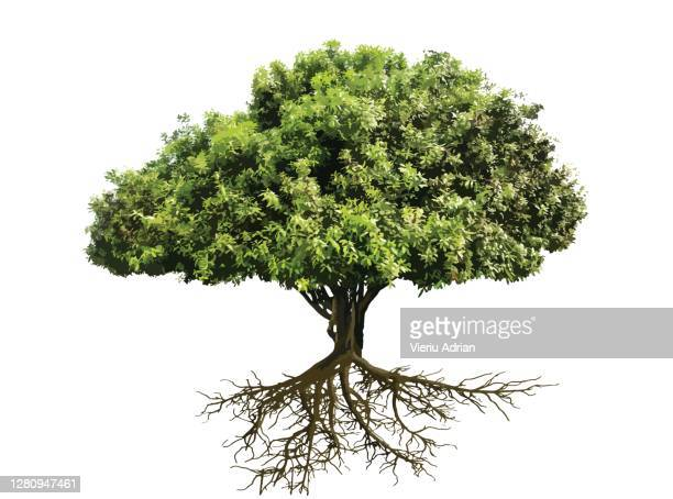 tree , bonsai with roots - tree stock pictures, royalty-free photos & images